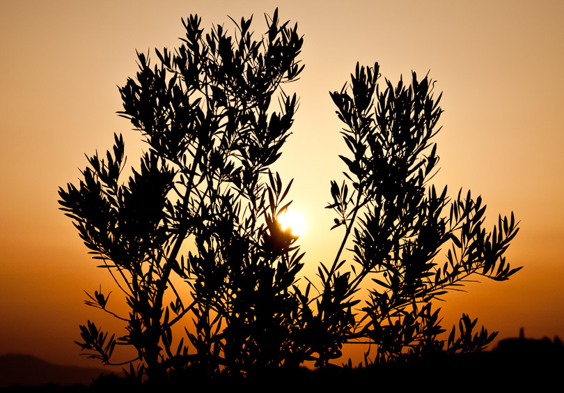 Olive branch in a tuscany sunset